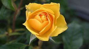 Rose113735_640