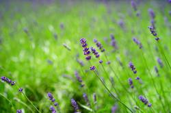 Lavender1365928_640