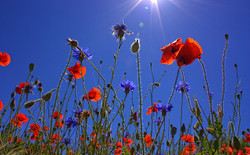 Fieldofpoppies807871_640