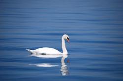 Swan173675_640