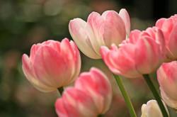 Tulips1134103_640