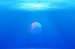 Jellyfish698521_640
