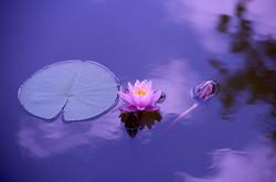 Lotus1205631_640