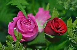 Roses208980_640