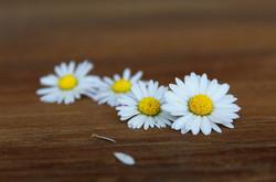 Daisy1403043_640