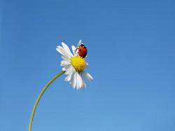 Ladybug2667778_640