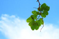 Leaves15757_640